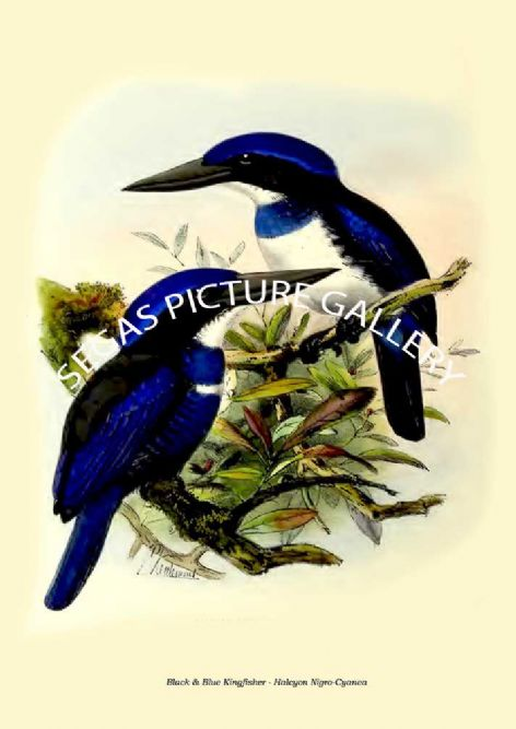 Fine art print of the Black & Blue Kingfisher - Halcyon Nigro-Cyanea by  the artist Johannes Gerardus Keulemans (1868-1871)